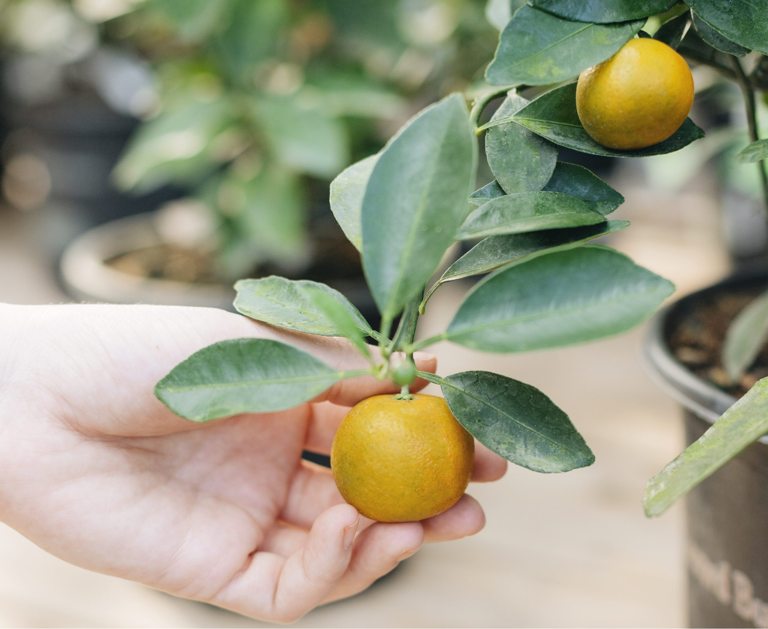 GROW: SQUEEZE IN SOME CITRUS